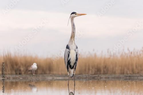 Obraz na płótnie Grey Heron