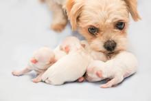 Newborn Puppy. Shih-tzu Dog
