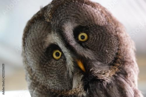 Montage in der Fensternische Eule Owl uil head hoofd close up closeup