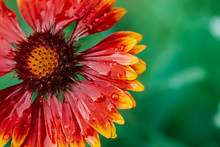 Scenic Flowering Gaillardia Pulchella In Macro. Amazing Wet Red Yellow Flower Close-up With Copy Space. Wonderful Petals With Raindrops. Dew On Beautiful Blooming Flower. Drops On Plant. Rich Flora.