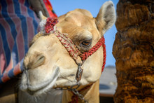 Head Of Dromedary Domesticated...
