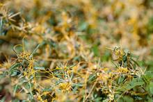 Dodder Genus Cuscuta Is Parasitic  Plants