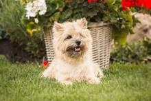 Cairn Terrier Dog At The Garden