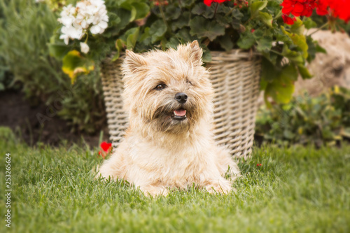 Leinwand Poster Cairn Terrier dog at the garden