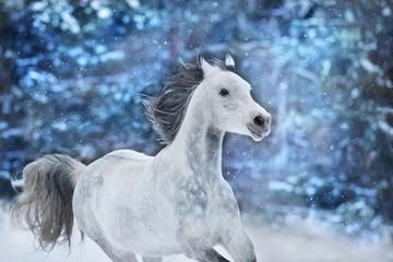 White arabian horse run fast on winter landscape