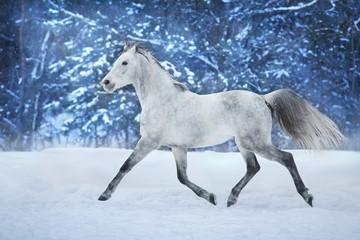 White stallion run in snow field