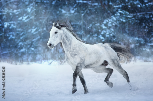 Fototapety, obrazy: White stallion run in snow field