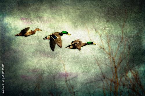 Montage in der Fensternische Olivgrun Flight of mallard ducks with a moody grungy texture background