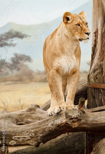 Fotografie, Obraz  The lioness stands on dry trees