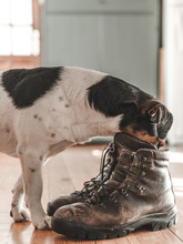 Dog And Leather Boots On Woode...