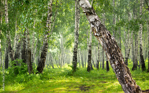 Birch grove in the forest.
