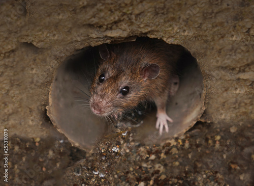 Closeup of rat on a sewer Fotobehang