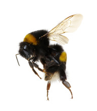 Bumblebee Isolated On The White