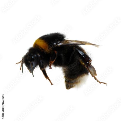 Obraz na płótnie bumblebee isolated on the white
