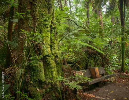 Redwood Forest near Rotorua, New Zealand