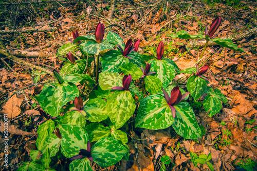 Photo  Wild Trillium