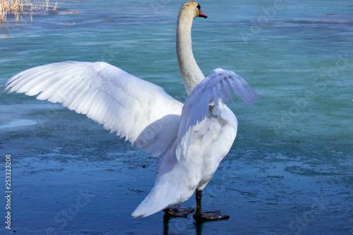 Fototapeta swan spread the wings on ice obraz na płótnie