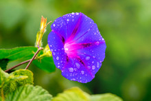 Drops Of Dew On A Flower Morni...