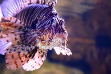 Lion fish w ciemnej wodzie.