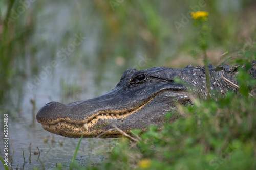 Fotografie, Obraz  Alligator