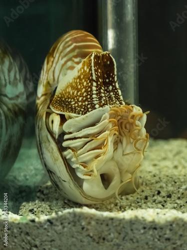 Fotografie, Obraz  Nautilus shell swimming in acuarius