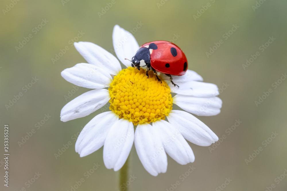 Fototapeta ladybug on a flower