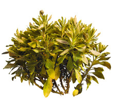 Tropical Plant In Autumn Isolated On White Background. Bush Of Yellow Foliage