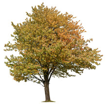 Tree Isolated On White Background. Yellow Foliage In Autumn