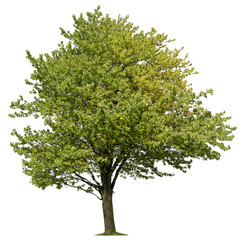 Tree isolated on white background. Green foliage