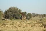 Giraffe in front of a bush plant