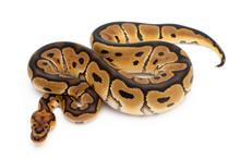 Ball Python Snake Reptile Anim...