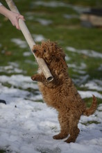 Cockapoo Playing With Cardboard In Snow