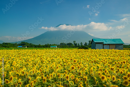 The beautiful Mount Yotei with sunflower blossom and a house