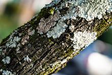 Bark Of A Dogwood Tree On A Su...