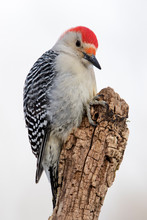 Beautiful Photo Of A Male Red-...