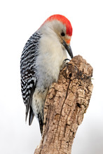 Beautiful Photo Of A Male Red-bellied Woodpecker (Melanerpes Carolinus) Holding And Eating A Sunflower Seed On A Tree Stump.