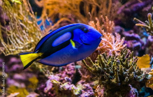 Fototapeta closeup of a blue tang surgeonfish, popular tropical aquarium pet, exotic fish from the pacific ocean obraz