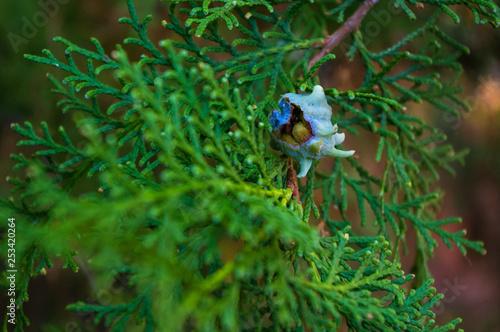 Foto  Incense cedar tree Calocedrus decurrens branch close up.