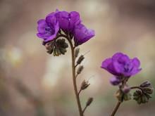 Purple Flower Clusters Standin...
