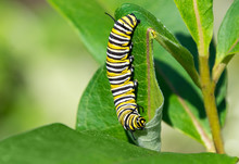 Monarch Caterpillar Eating Mil...
