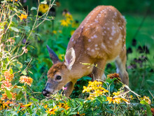 Young White Tailed Deer Fawn I...