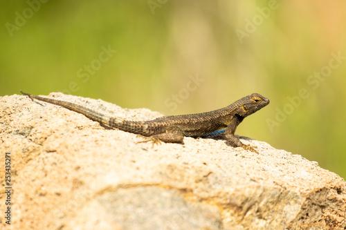 Photographie  Western Fence Lizard - Sceloporus Occidentalis