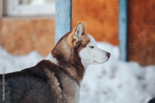 Fotografie, Obraz  Husky dog