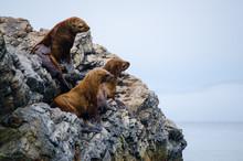 Three Sea Lions On A Rocky Isl...