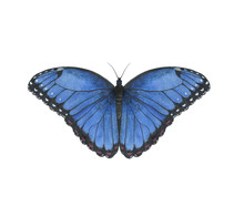 Butterfly Watercolor Illustra...