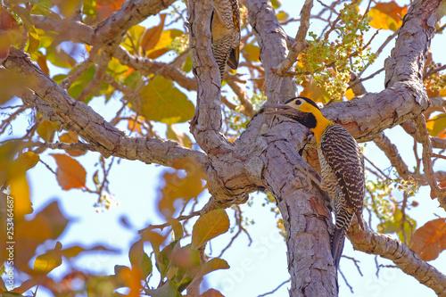 Fotografija  Campo Flicker, Colaptes Campestris, a species of bird in the woodpecker family,