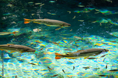 Fotografija  Brycon Hilarii, Piraputanga fishes in cristal clear water of the Salobra river,
