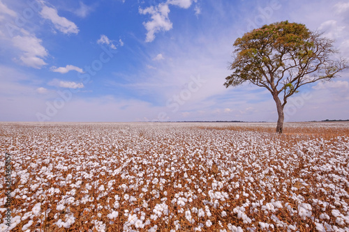 Fotografija  Tree in the middle of a cotton field in Campo Verde, Mato Grosso, Brazil