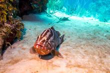 Nassau Grouper Feeding On Lobster In Belize Coral Reef