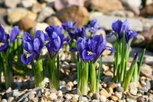 Small Spring Flowers In The Garden, Tiny Violet Blue Irises On Gravel Flower Bed, Iris Reticulata Or Dwarf Iris, Iridaceae